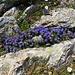 Phyteuma hemisphaericum L.<br />Campanulaceae<br /><br />Raponzolo alpino.<br />Raiponce hémisphérique.<br />Halbkugelige Rapunzel.