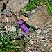 Linaria alpina (L.) Mill. s.str.<br />Plantaginaceae (incl. Scrophulariaceae p.p.)<br /><br />Linaria alpina.<br />Linaire des Alpes.<br />Alpen-Leinkraut.<br /><br />