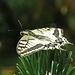 So schön und elegant, der Schwalbenschwanz (Papilio machaon) / Quanto è bella e elegante!