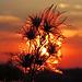 Danke, wer bis hierhin die Bilder angeschaut hat:-) Clematis bei Sonnenuntergang / Grazie per aver guardato le foto fino a qui:-) Clematis al tramonto
