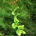 Lapsana communis L. s.str.<br />Asteraceae<br /><br />Lassana.<br />Lapsane commune.<br />Rainkohl.