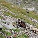 Kurz vor dem ersten See bei Punkt 2485 sehen wir wie dieser Collie eine Gruppe Schafe zusammentreibt. Unglaublich die Ausdauer und Intelligenz dieser Hunde. Bald kommt auch der Schäfer mit seiner Tochter hoch und fragt uns wo wir noch Schafe gesehen haben.