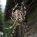"""Gartenkreuzspinne (Araneus diadematus), die Herrscherin der Altenberghütte von oben:-) / la regina dell`Altenberghütte...certo, se fosse una femmina, non lo so:-) Ma in tedesco si chiama [https://de.wikipedia.org/wiki/Gartenkreuzspinne """"la"""" Kreuzspinne]"""