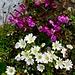 Pedicularis kerneri (Kerners Läusekraut) & Cerastium uniflorum (Einblütiges Hornkraut)