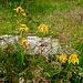 Arnica montana (Arnika)