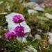 Armeria alpina (Alpen-Grasnelke)