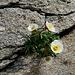 Ranunculus glacialis (Gletscher-Hahnenfuss) - hier junge Blüten