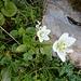 Sumpf Herzblatt mit Knöllchen Knöterich