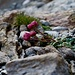Ranunculus glacialis (Gletscher-Hahnenfuss). Junge Blüten sind weiss, im Alter werden sie rot...