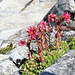 Semprevivo ragnateloso (Sempervivum arachnoideum).