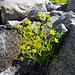 Sassifraga gialla (saxifraga aizoides).