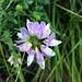 Securigera varia (L:) Lassen<br />Fabaceae<br /><br />Cornetta ginestrina.<br />Coronille bigarrée.<br />Bunte Kronwicke.<br />