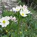 Narzissenblütiges Windröschen (Anemone narcissiflora)
