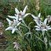 Edelweiss am Pass de Buffalora