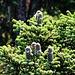 Zapfen der Nordmann-Tanne (Abies nordmanniana) welche hier heimisch ist.