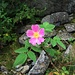 Rosa glauca Pourr.<br />Rosaceae<br /><br />Rosa paonazza.<br />Rosier glauque.<br />Bereifte Rose.