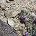 Blümchen im Fels