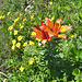 Feuerlilien (Lilium bulbiferum)