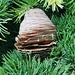 Zapfen der Libanon-Zeder (Cedrus libani).