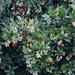 Blüten und Früchte vom Westlichen Erdbeerbaum (Arbutus unedo) in Rimini. Die Blüten und die reifenden Früchte sind in den Wintermonaten gleichzeitig am Baum!<br /><br />