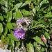 schöner Schmetterling (Apollofalter)