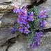 Alpen-Leinkraut - eine Felsritze genügt