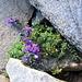 Linaria alpina (L.) Mill. s.str.<br />Plantaginaceae (incl. Scrophulariaceae p.p.)<br /><br />Linaiola alpina.<br />Linaire des Alpes.<br />Alpen-Leinkraut.
