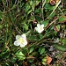 Parnassia palustris L.<br />Celastraceae<br /><br />Parnassia.<br />Parnassie des marais.<br />Sumpf-Herzblatt.