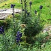 Aconitum compactum (Rchb.) Gàyer<br />Ranunculaceae<br /><br />Aconito napello.<br />Aconit compact.<br />Dichtblütiger Blau-Eisenhut.