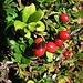 Vaccinium vitis-idaea L.<br />Ericaceae<br /><br />Mirtillo rosso.<br />Airelle rouge.<br />Preiselbeere.