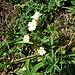 Euphrasia minima Schleich.<br />Orobanchaceae (incl. Scrophulariaceae p.p.)<br /><br />Eufrasia minima.<br />Euphrasie naine.<br />Zwerg-Augentrost.