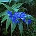 Gentiana asclepiadea L.<br />Gentianaceae<br /><br />Genziana asclepiade.<br />Gentiane à feuilles d'asclépiade.<br />Schwalbenwurz-Enzian.