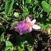 Colchicum autumnale L.<br />Colchicaceae (Liliaceae p.p.)<br /><br />Colchico d'autunno.<br />Colchique d'automne.<br />Herbst-Zeitlose.<br />