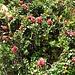 Rhododendrn ferragineum L.<br />Ericaceae<br /><br />Rododendro rosso.<br />Rhododendron ferrugineux.<br />Rostblättrige Alpenrose.