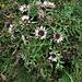 Carlina acaulis subsp. caulescens (Lam.) Schübl. & G. Martens<br />Asteraceae<br /><br />Carlina bianca.<br />Carline blanche.<br />Silberdistel.