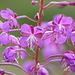 fioritura di epilobio