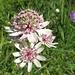 prächtige Blumendolden 1