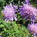 prächtige Blumendolden 2 - mit Besucher