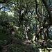 Der schöne Eichenwald im Mittelteil des Zustiegs
