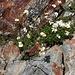 Blütenpflanze auf 3500m! Wahrscheinlich handelt es sich um eine Art der Gattung Anthemis, eventuell Anthemis melanoloma. Wer weiss mehr?