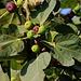 Früchte der Echten Feige (Ficus carica).