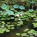 Аҟəа / Сухум (Ak̄°a / Sukhum):<br /><br />Seerosenteich im wunderschönenen Botanischen Garten.