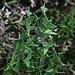 Аҟəа / Сухум (Ak̄°a / Sukhum):<br /><br />Zweig des extrem stachligen Strauches Colletia cruciata im Botanischen Garten. Der Strauch würde sich bestens als Hecke eignen um EIndringlinge abzuhalten!