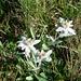 Edelweiss im Morgentau...