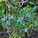 noch viele Glockenblumen blühen