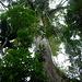 Ein gewaltiger, über 75 Meter hoher Kapokbaum. Rechnet man die Brettwurzeln dazu, hat er am Stammfuss einen unglaublichen Umfang von klar über 40 Metern. Laut unserem Guide sei dies der grösste bekannte Baumriese in Südamerika. Ob dem wirklich so ist, sei einmal dahingestellt. Sehr eindrücklich ist er aber allemal! Die Dimensionen sind auf diesem Foto, dass doch aus einiger Entfernung aufgenommen wurde nicht wirklich erkennbar...