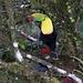 ein Swainson-Tukan, der zu den echten Tukanen gehört (Foto von Jimmy)
