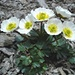 sulla vetta; la fioritura del Ranuncolo Glacialis.