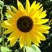 Die Sonnenblume strahlte mit der Sonne um die Wette
