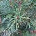 <b>Pino cembro (Pinus cembra). In tedesco è chiamato die Zirbe e nel dialetto della Valle dello Stubai die Zirm. Gli aghi sono riuniti in fascetti di 5.</b>
